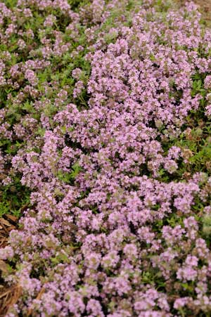 Creeping thyme magic carpet